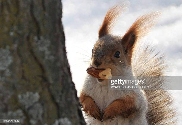 A squirrel gnaws an acorn in a park in the Kyrgyzstan's capital Bishkek on January 27 2013 AFP PHOTO / VYACHESLAV OSELEDKO