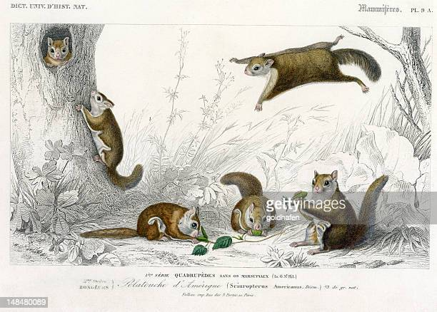 squirrel,  historic illustration, 1849 - flying squirrel stock pictures, royalty-free photos & images