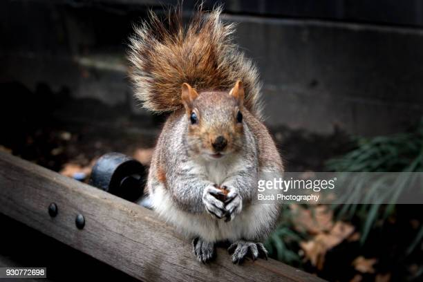 squirrel holding a hazelnut in a public park in toronto, ontario, canada - eastern gray squirrel stock photos and pictures