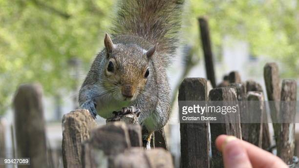 squirrel hunting nuts - bortes stock pictures, royalty-free photos & images