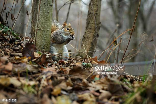 New York United States of America February 25 Squirrel in Central Park on February 25 2016 in New York United States of America