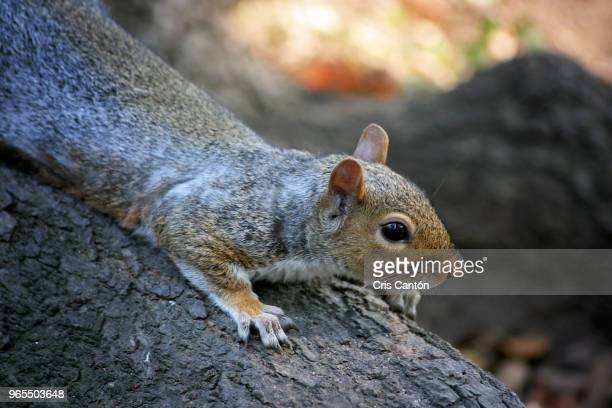 squirrel in central park - cris cantón photography stock pictures, royalty-free photos & images