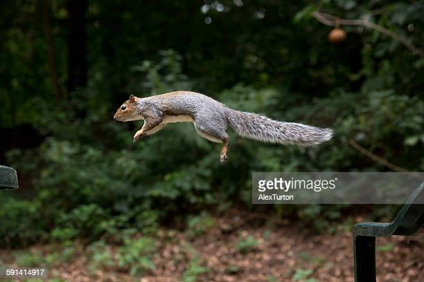 squirrel in flight - gray squirrel stock photos and pictures