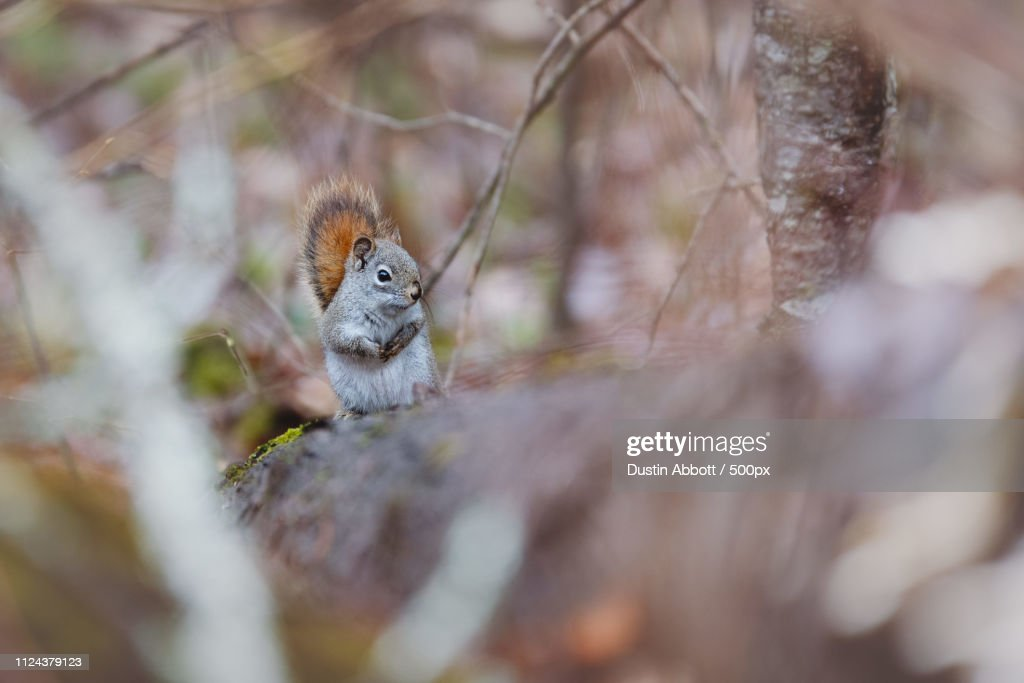 Squirrel in forest in close up : Foto de stock