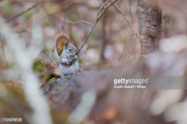 squirrel in forest in close up - dustin abbott stock pictures, royalty-free photos & images