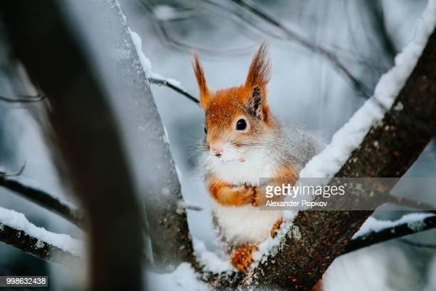 Squirrel in Lapland
