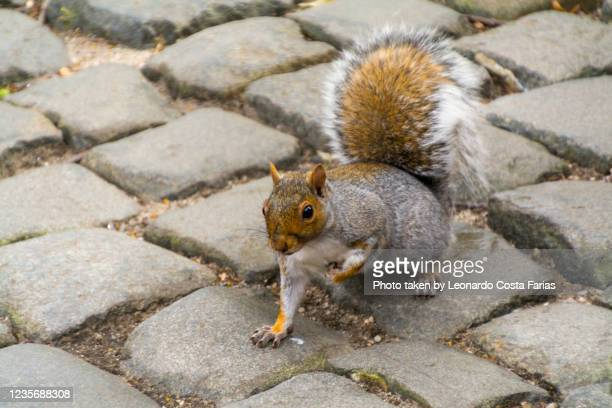 a squirrel in new york - leonardo costa farias stock pictures, royalty-free photos & images
