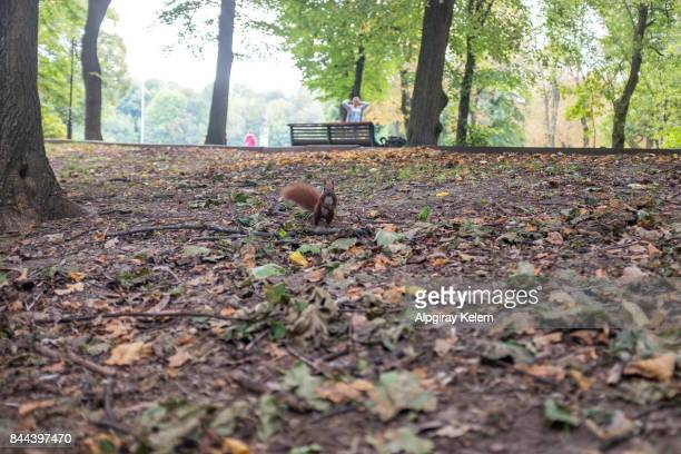 squirrel in stryisky park, lviv, ukraine - pap smear stock photos and pictures