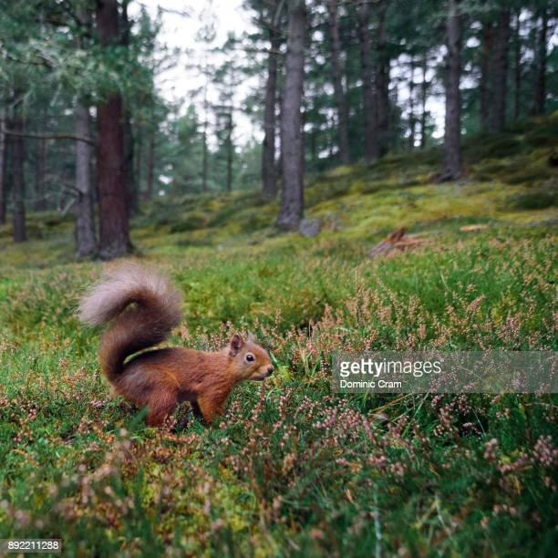 squirrel in the cairngorms forest - eurasian red squirrel stock pictures, royalty-free photos & images