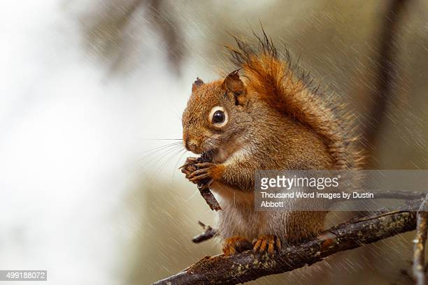 squirrel in the rain - american red squirrel stock photos and pictures