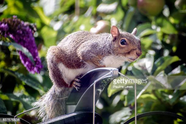 squirrel in the sun - gray squirrel stock photos and pictures