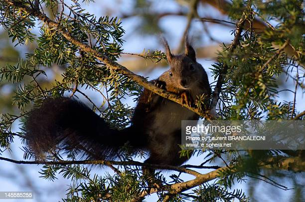 squirrel in  tree - brancaleoni stock pictures, royalty-free photos & images