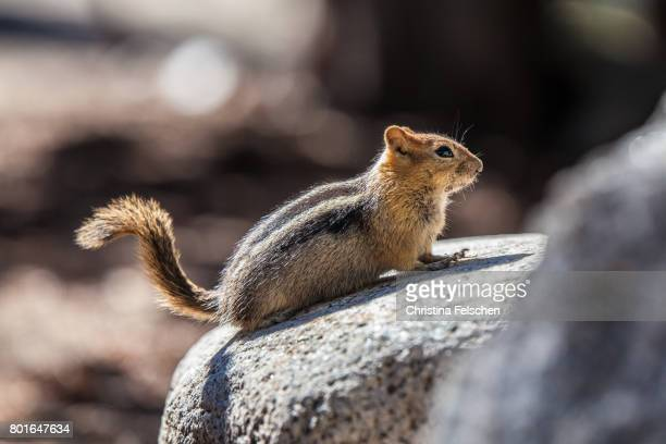 squirrel in yosemite valley - christina felschen stock photos and pictures
