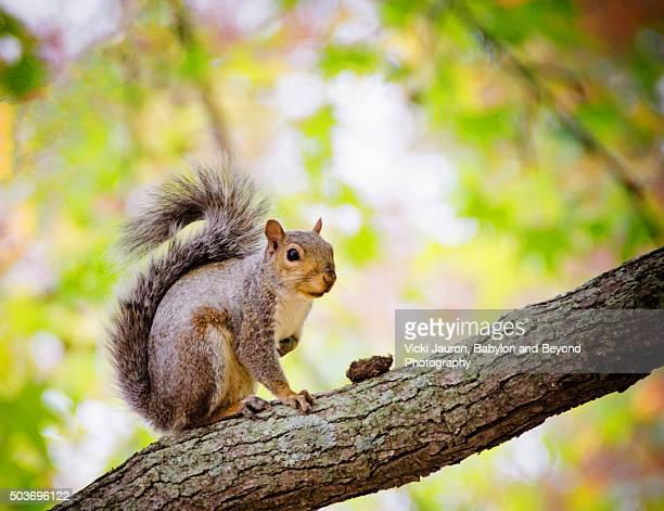 squirrel interrupted at belmont lake state park, west babylon, long island - リス ストックフォトと画像