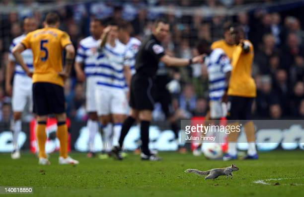 A squirrel invades the pitch as players and referee watch on during the Barclays Premier League match between Queens Park Rangers and Everton at...