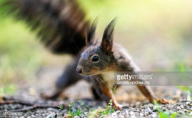 Squirrel is seen at the Schoenbrunn Palace Park in Vienna, Austria, on April 19, 2020. / Austria OUT