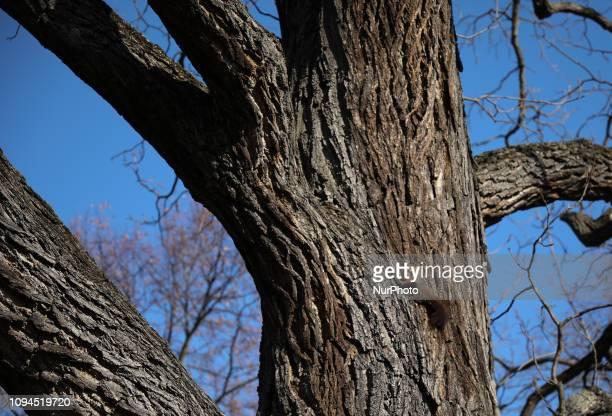 A squirrel is seen climbing in a tree in Rosenstein Park in Stuttgart Germany