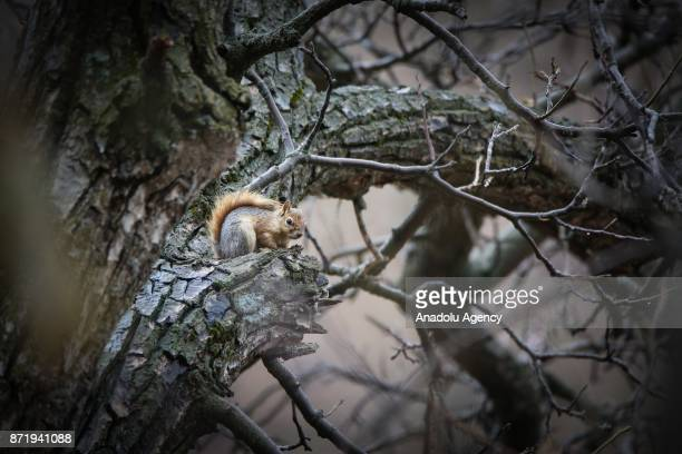 A squirrel is seen on a tree on an autumn day in Van Turkey on November 09 2017