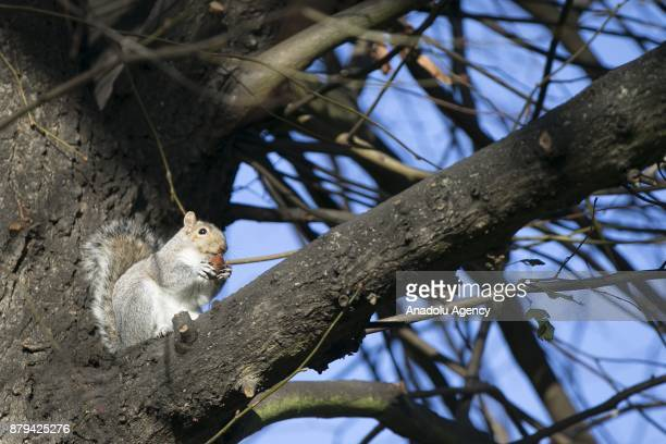 A squirrel is seen on the tree after being fed by people at Hyde Park during the last days of autumn on October 26 2017 in London England