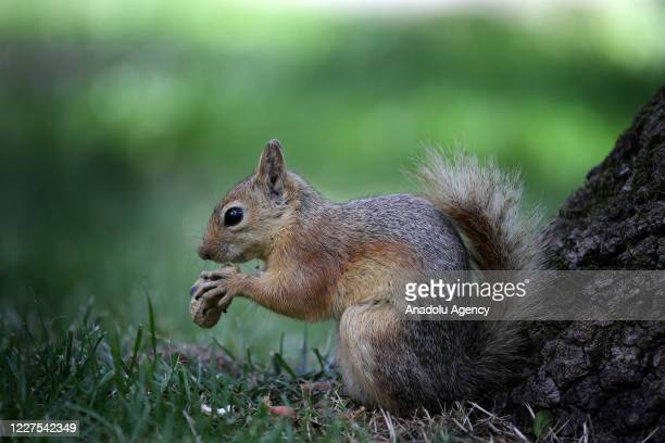 Squirrel is seen with a peanut at Emirgan Park located in Sariyer district of Istanbul, Turkey on July 14, 2020. Squirrels in the park, feeding on...