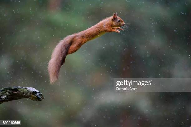 squirrel leap - leap of faith stock photos and pictures