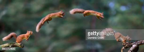 squirrel leaping composite - scoiattolo foto e immagini stock