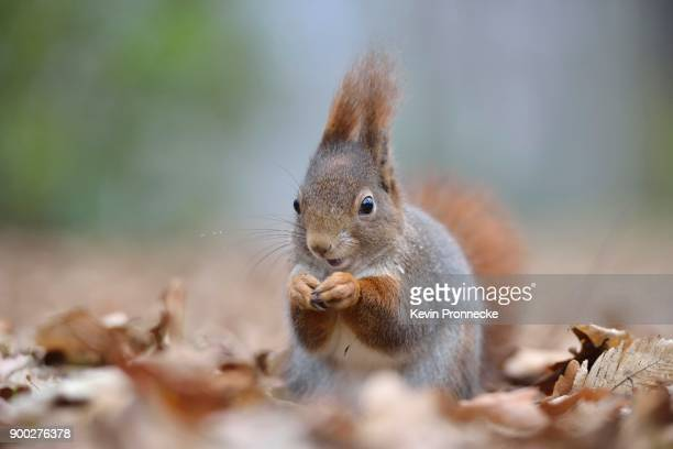 Squirrel (Sciurus vulgaris) looking for food in autumn leaves, Saxony, Germany