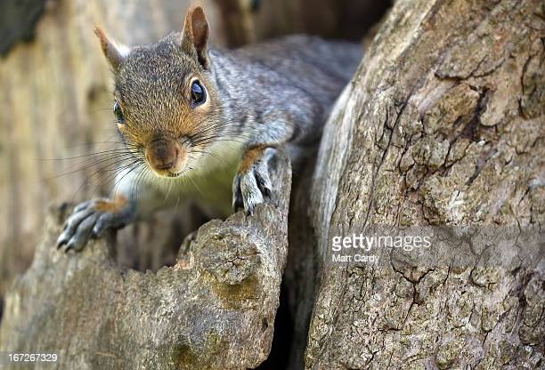 A squirrel looks from a tree in Royal Victoria Park on April 23 2013 in Bath England After one of the coldest winters on record with a late start to...