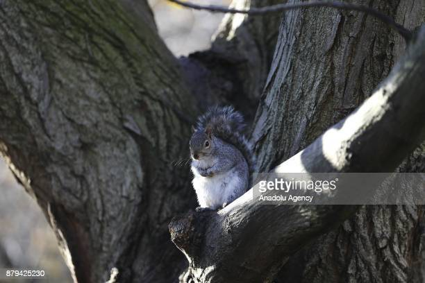 A squirrel looks on on the tree after being fed by people at Hyde Park during the last days of autumn on October 26 2017 in London England