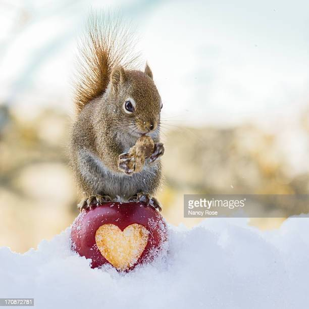 squirrel love - american red squirrel stock photos and pictures