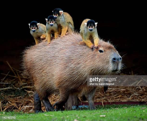 squirrel monkey and capybara - capybara stock pictures, royalty-free photos & images