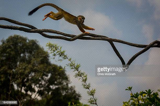 Squirrel Monkey bounds along a vine in the Squirrel Monkey Forest during a media tour ahead of the opening of River Safari at the Singapore Zoo on...