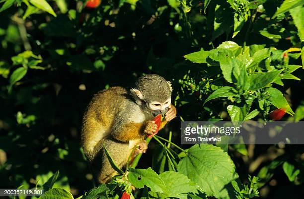 Squirrel monkey (Saimiri sciureus) eating flower in tree