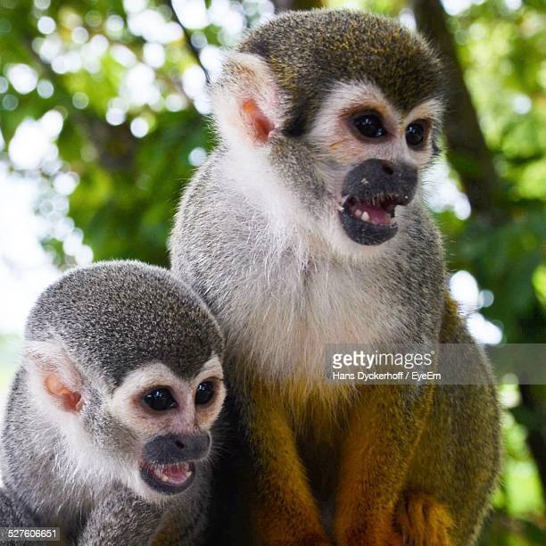Squirrel Monkey Family In Forest
