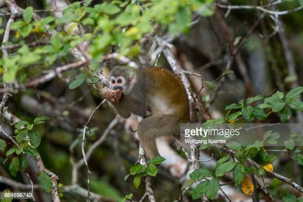 Squirrel monkey feeding on a seed in a tree in the rain forest near La Selva Lodge near Coca Ecuador