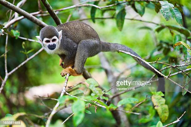 Squirrel Monkey From The Amazon