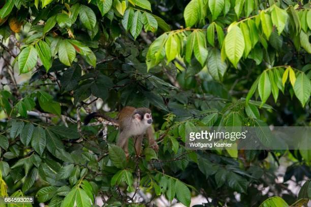 Squirrel monkey in a tree in the rain forest near La Selva Lodge near Coca Ecuador