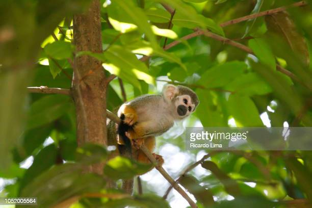 squirrel monkey (sapajus gender) in amazon rainforest - lima animal stock pictures, royalty-free photos & images