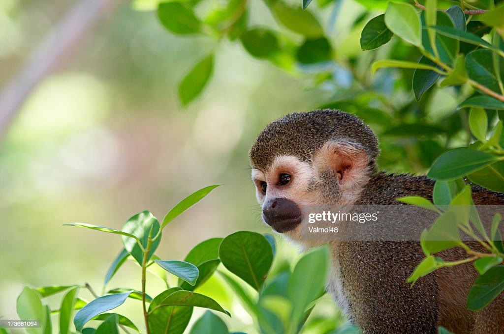 Macaco Esquilo : Foto de stock