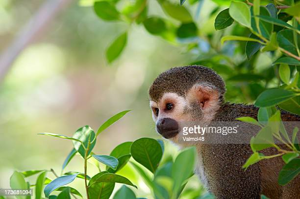 a squirrel monkey in its tree top habitat - peru stock pictures, royalty-free photos & images