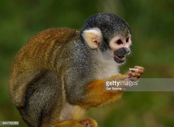 squirrel monkey meal - monkey paw stock photos and pictures