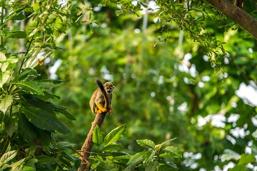 Squirrel Monkey on a tree trunk 1077972218