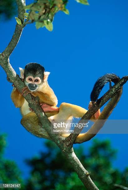 Squirrel monkey (Sainiri sciureus) on tree branch, South America