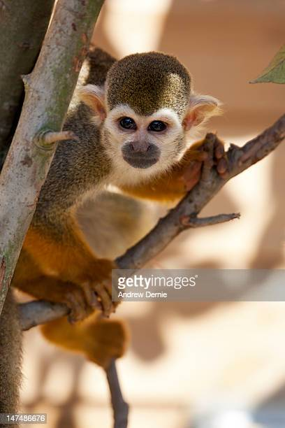 squirrel monkey - andrew dernie stock pictures, royalty-free photos & images
