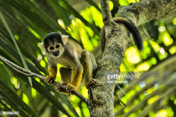 squirrel monkey - peruvian amazon stock pictures, royalty-free photos & images
