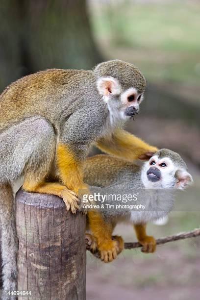 Squirrel Monkey pulling another monkeys ear