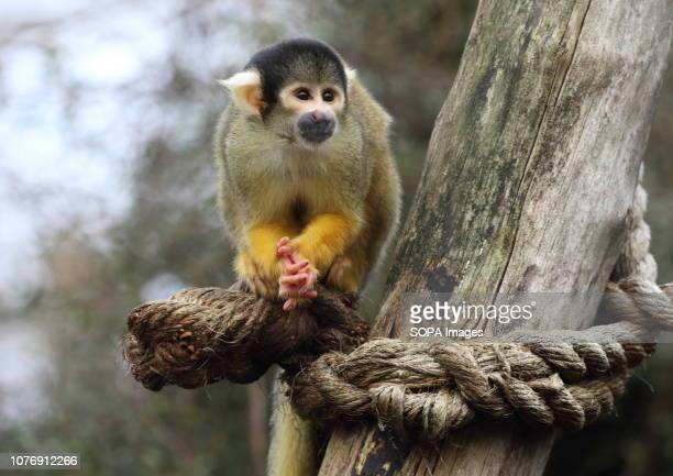 A squirrel Monkey seen during the Zoo's annual stocktaking Caring for more than 700 different species ZSL London Zoo's keepers face the challenging...