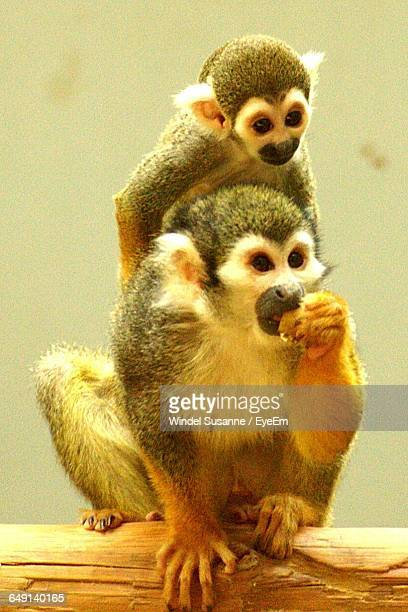 Squirrel Monkey With Infant Sitting On Wood