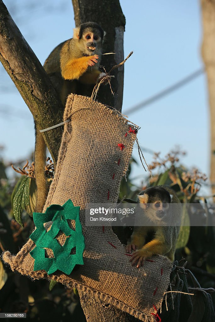 Squirrel Monkeys are fed using stockings at ZSL London Zoo on December 12, 2012 in London, England. Keepers at the zoo gave the some of the animals Christmas presents and festive treats during a photocall at London Zoo.