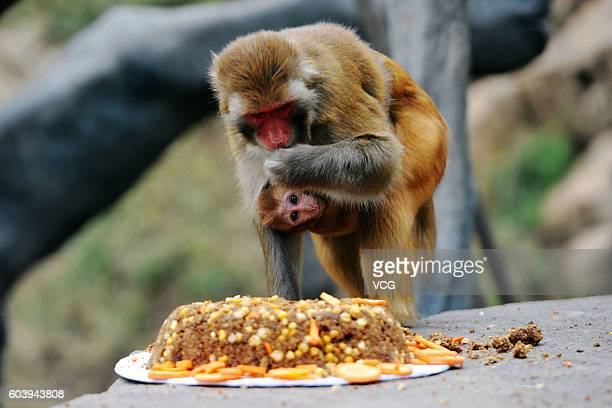 Squirrel monkeys eat 'mooncakes' at Forest Wild Animal World on September 13 2016 in Qingdao Shandong Province of China All wild animals could enjoy...